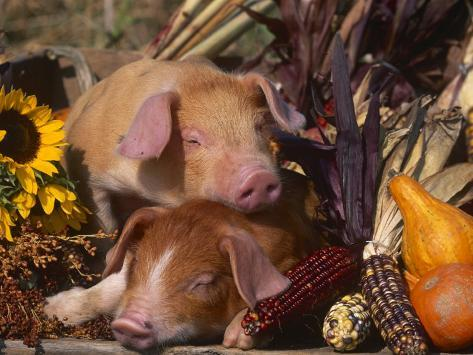 Domestic Piglets, Resting Amongst Vegetables, USA Photographic Print