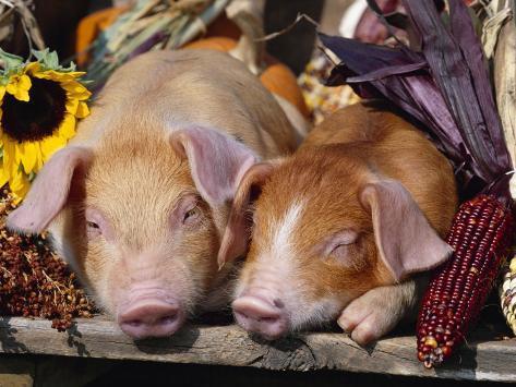 Domestic Piglets Sleeping, USA Photographic Print