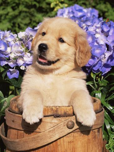 golden retriever puppy in bucket canis familiaris illinois usa