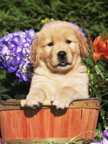 オールポスターズの リン m ストーン golden retriever puppy in