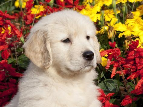 オールポスターズの リン m ストーン golden retriever puppy 写真