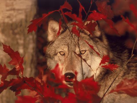 Gray Wolf Peeking Through Leaves Stampa fotografica