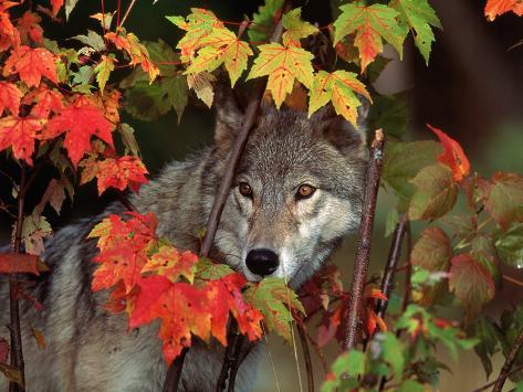 Gray Wolf Peeking Through Leaves Photographic Print