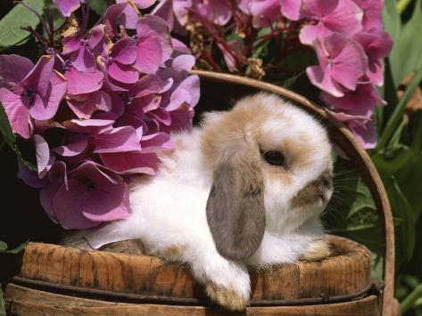 Holland Lop Eared Rabbit in Basket, USA Photographic Print