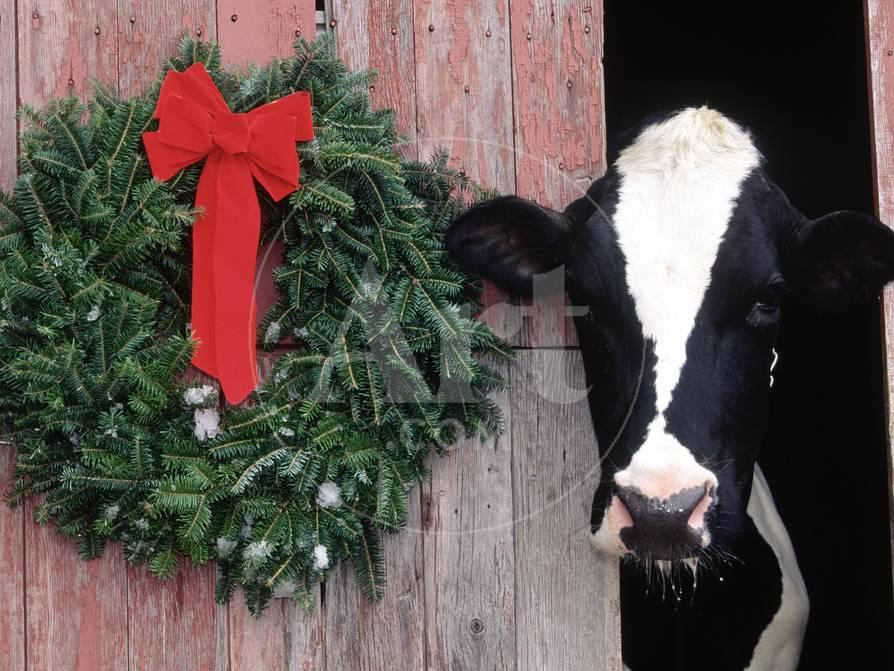Christmas Cow.Holstein Cow In Barn With Christmas Wreath Wi