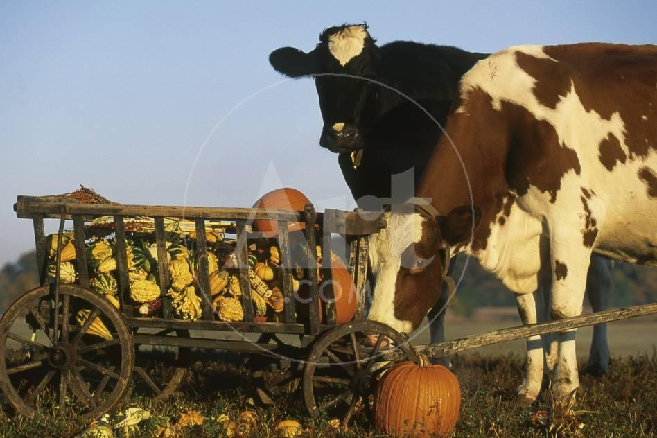 Holstein Cows Being Curious Around Wooden Wagon And Its Load Of