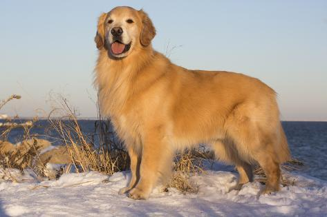 male golden retriever standing on snow covered rocks at a long