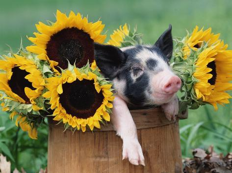 Mixed-Breed Piglet in Basket with Sunflowers, USA Photographic Print