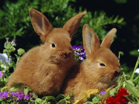 New Zealand Domestic Rabbits and Flowers Photographic Print