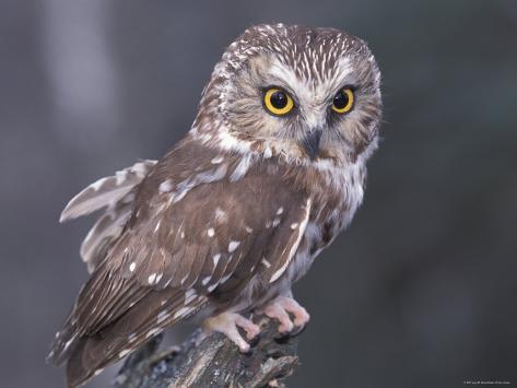 Northern Saw-Whet Owl, Alaska, Us Photographic Print