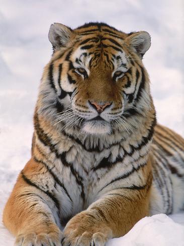 Siberian Tiger in Snow, Panthera Tigris Altaica Stampa fotografica