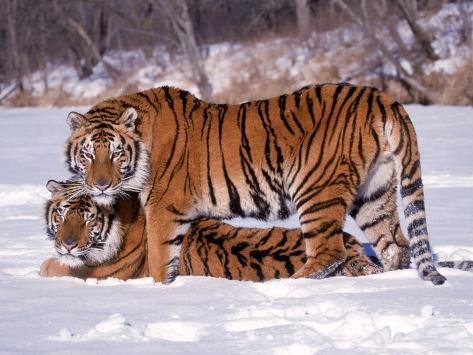 Siberian Tigers Photographic Print