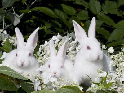 Three Baby White New Zealand Rabbits Photographic Print by ...