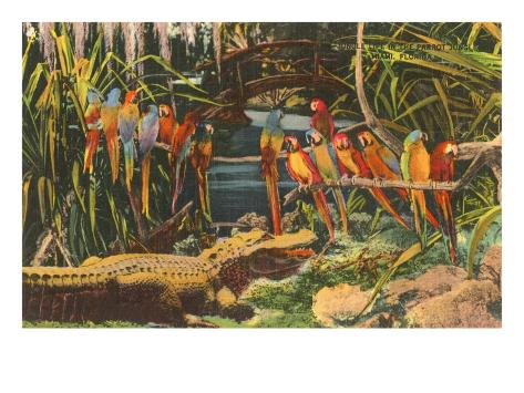Macaws and Alligator, Florida Art Print
