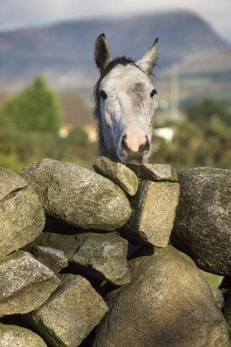 A Horse Peers over a Dry Stone Wall Valokuvavedos