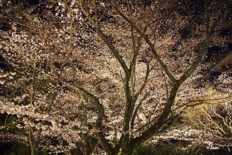 Cherry Blossoms at Night in Nara, Japan Photographic Print