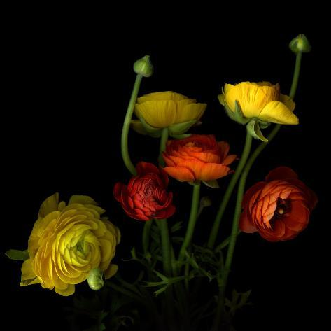 Yellow and Red Ranunculus Photographic Print