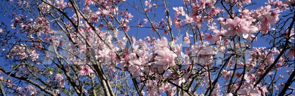 Magnolias Golden Gate Park San Francisco California Usa