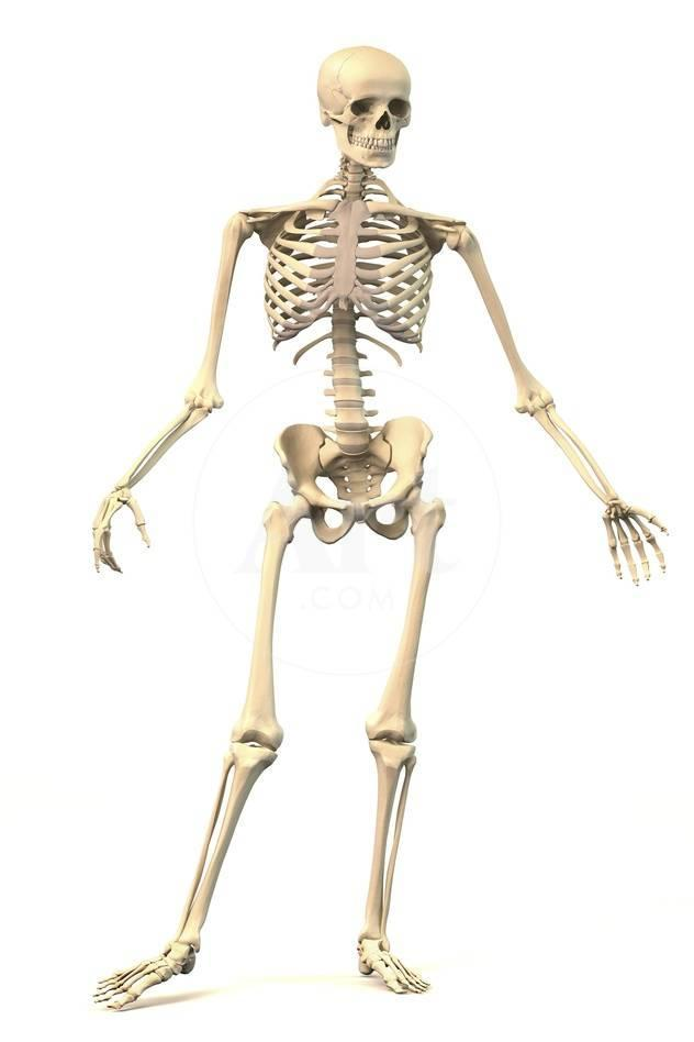 Male Human Skeleton In Dynamic Posture Front View Prints At