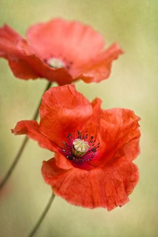 Papaver Passion Stampa fotografica