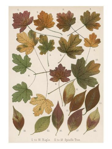 Maple and Spindle Tree Leaves in Autumn Colours Stampa giclée