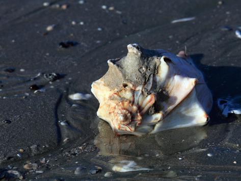 Knobbed Whelk Shell on Sandy Beach Photographic Print