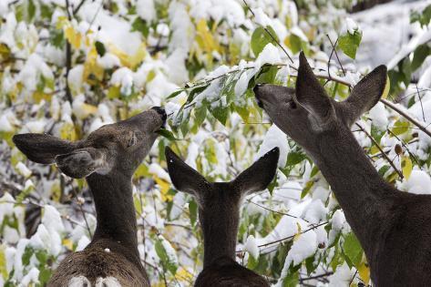 Mule Deer, Odocoileus Hemionus, Browsing on Snow-Covered Shrubs Photographic Print