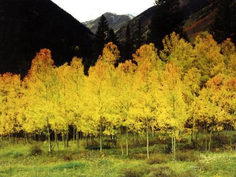 Brilliant Golden Aspen Trees in Rocky Mountains Near Silverton, Southwestern Colorado, USA Photographic Print