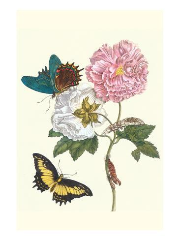 Cotton Rose Mallow with a Queen Swallowtail Art Print