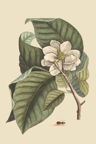 Magnolia Lámina