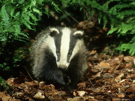 Badger, Close-up Photographic Print