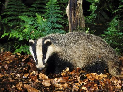 Badger Stampa fotografica