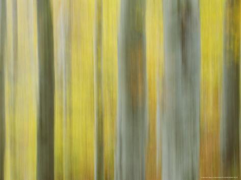 Common Beech, Impression of Woodlands, Scotland Valokuvavedos