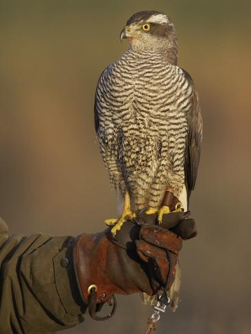 Goshawk, Adult Perched on Falconers Glove, Scotland Photographic Print