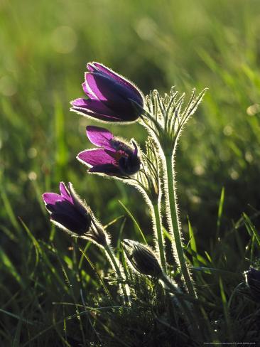 Pasque Flower, Small Group Backlit, Cambridgeshire, UK Valokuvavedos