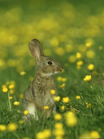Rabbit, Adult Amongst Buttercups, UK Photographic Print
