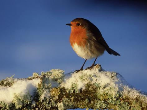 Robin, Perched on Branch in Snow, Scotland, UK Stampa fotografica
