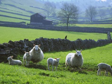 Sheep Ovis Aries Photographic Print