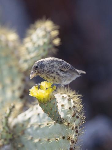 Cactus Finch, Feeding on Opuntia Cactus Blossoms, Santa Cruz Island, Galapagos Photographic Print