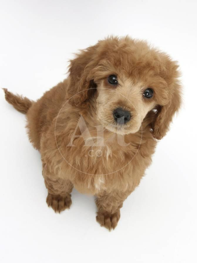 Apricot Miniature Poodle Puppy 8 Weeks