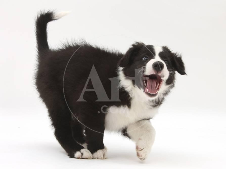 Black And White Border Collie Puppy Barking Photographic Print By