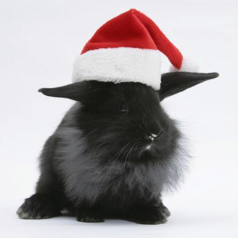 black baby dutch x lionhead rabbit with father christmas hat on