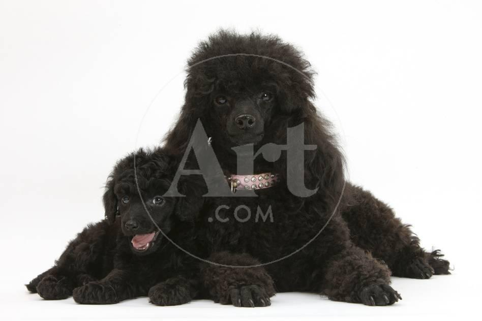 Black Toy Poodle And Puppy 7 Weeks Photographic Print By Mark Taylor At Allposters