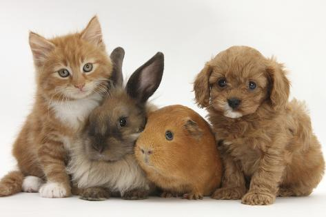 Cavapoo (Cavalier King Charles Spaniel X Poodle) Puppy with Rabbit, Guinea Pig and Ginger Kitten Lámina fotográfica