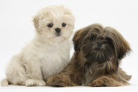 Cream Shih Tzu Puppy 7 Weeks And Brown Shih Tzu 5 Months