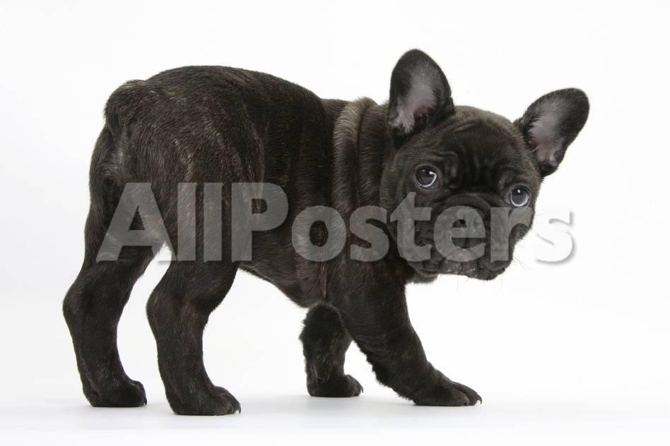 Dark Brindle French Bulldog Pup Bacchus 9 Weeks Old