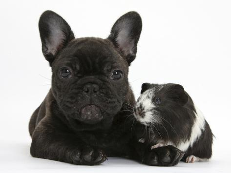Dark Brindle French Bulldog Puppy Bacchus 9 Weeks With Guinea Pig