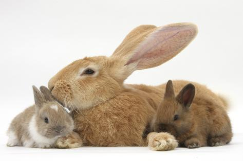 Kitten Flemish Giant Rabbit And Baby Netherland Dwarfcross Rabbits Allposters Flemish Giant Rabbit And Baby Netherland Dwarfcross Rabbits