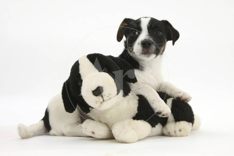 Jack Russell Terrier Puppy, 9 Weeks, with Soft Toy Dog