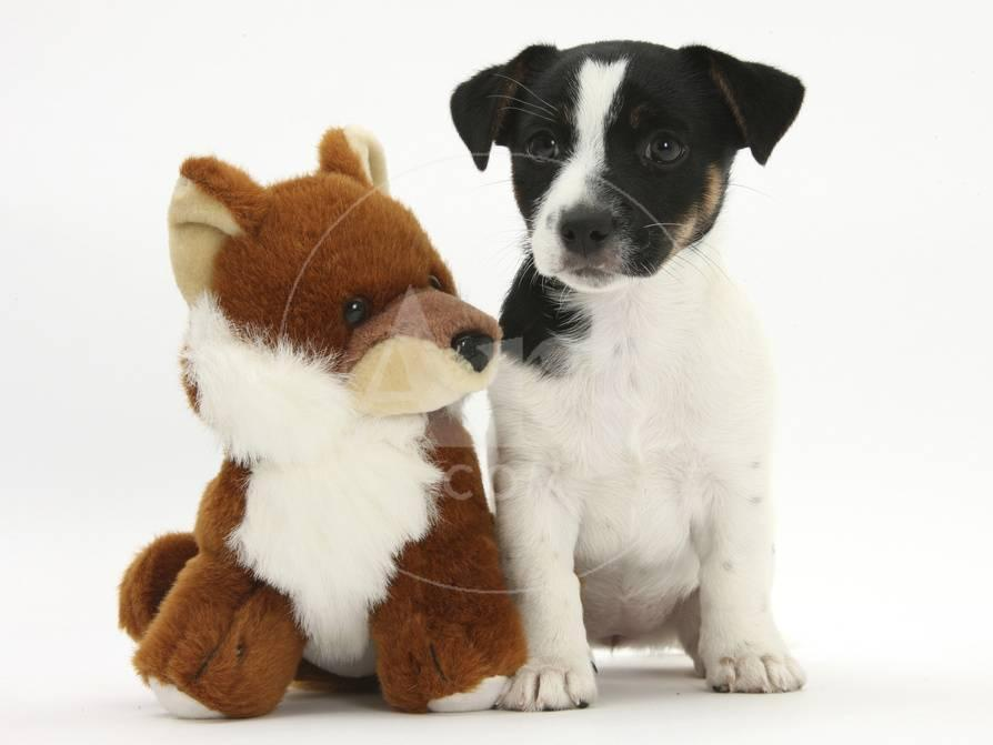 Jack Russell Terrier Puppy, Ruby, 9 Weeks, with Soft Toy Fox